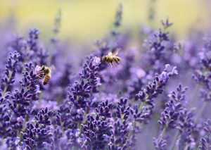 Why and How lavender Helps to Lose Weight?