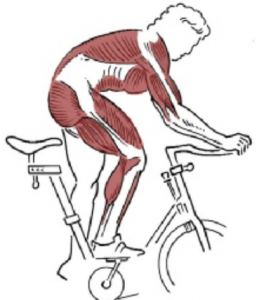 What Muscles Work When Cycling